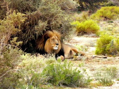 Inverdoorn Safari – Lion
