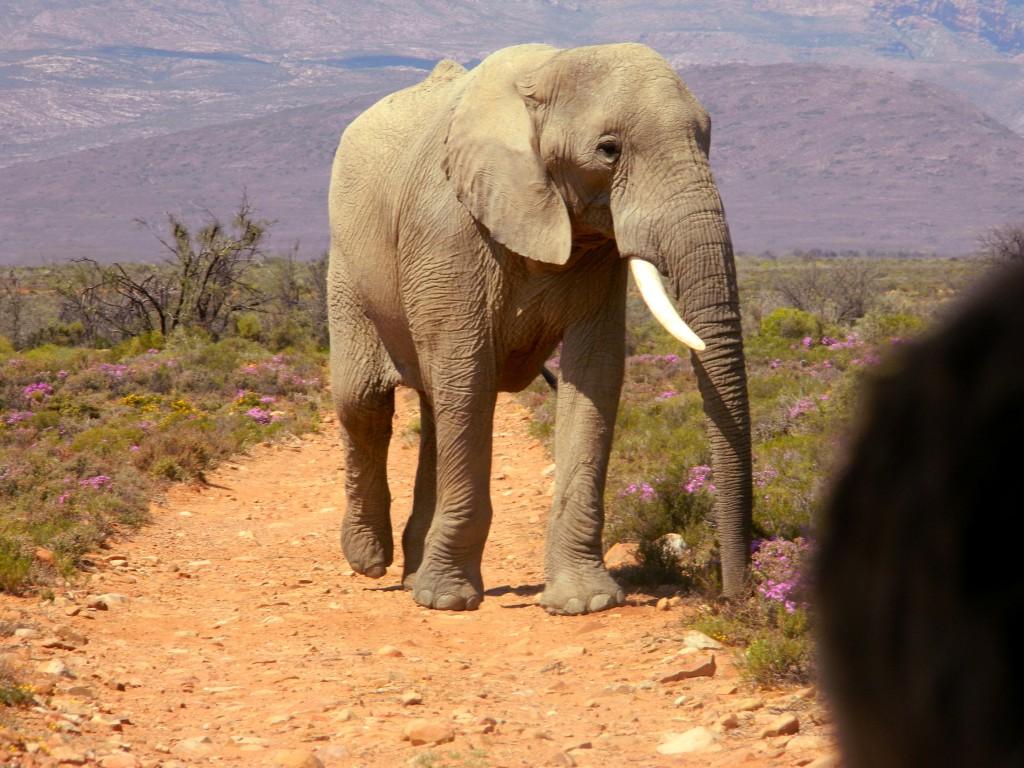 Elefant closeup safari